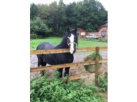 13.2 heavy cob mare for sale