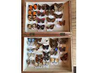 Etymology taxidermy Butterflies