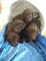 CKC Registered Chocolate Labs