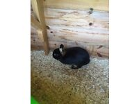 Pair of Netherland dwarf rabbits incl hutch etc