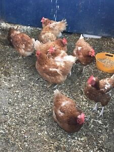 Red Laying hens 1 1/2-2 year olds