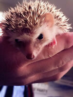 3 Male Baby Hedgehogs Left!