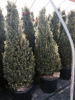 TOP QUALITY EVERGREENS, SHRUBS, SHADE TREES & MORE!!!