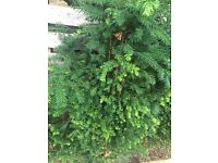 10 yew hedging ( taxus baccata )