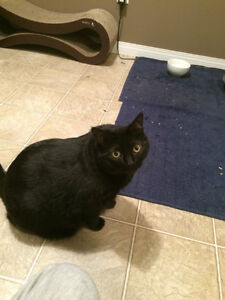 Lost Black Cat with White Patch on Belly