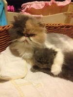 Male And Female Persian Cats