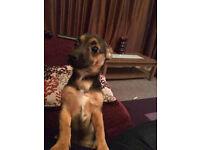 Jackawawa boy puppy 5months old