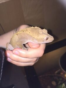 Female gecko(Proven) and baby gecko *CHEAP*