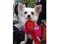 Roxy missing chihuahua £1,000 REWARD IF FOUND