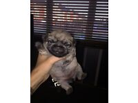Gorgeous pug cross puppy