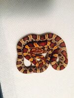 Young Corn snake and enclosure for sale