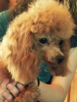 CKC REGISTERED TINY TOY RED FEMALE POODLE FOR SALE