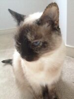 Lovely female siamese to give away