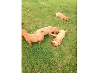 black and golden show type golden cocker spaniel puppies