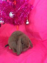 ♥♥♥ Mini Lop Double Storey Hutch Package ♥♥♥ Londonderry Penrith Area Preview
