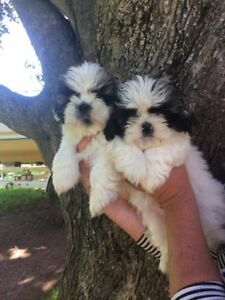 Shih Tzu Puppies. Ready to go.
