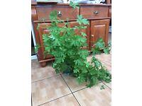 Scented gerarium indoor plant