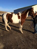 12 year old Pinto mare