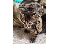 Four beautiful half Bengal kittens