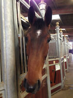1-2 Day Lease Wanted for Stunning Belgium Warmblood