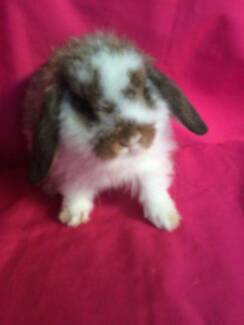 ♥♥ Mini Lop Rabbits ,Hutches ,Starter Packs and Accessories ♥♥ Londonderry Penrith Area Preview