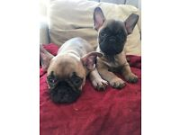 French bull dog pups ready to leave