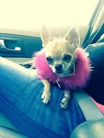 Chihuahua pure race petit amour 5147769223