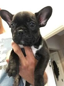 Beautiful French bulldog bitches for sale