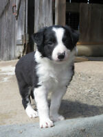 CBCA REGISTERED BORDER COLLIE PUPPIES - 5 & 6 WEEKS