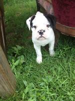 Olde English Bulldogge male puppy for sale.