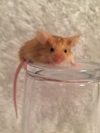 Female fancy mice 3 for £10