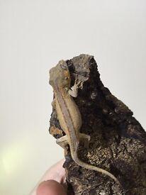 Hatchling gargoyle gecko