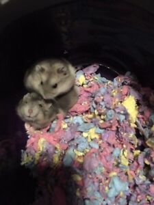 Winter white dwarf hamsters with cage