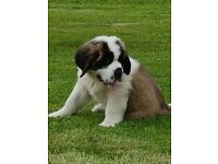 St Bernards KC Registered