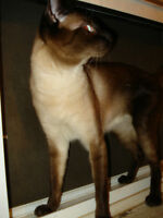1 pure seal point Siamese male