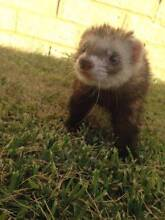 Beautiful baby ferrets for sale! Ready to take home today! Armadale Armadale Area Preview
