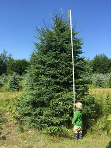 "Large Mature 10-17' Spruce Tree's in 50-60"" Wire Baskets"