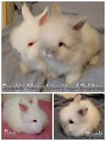 PUREBRED LION HEAD RABBITS/BUNNIES FOR SALE