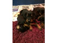 Dobermanns puppies