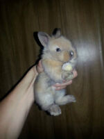 Sweet lion Head Bunny for sale,