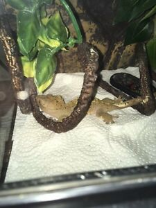 Geckos and tanks for sale, Christmas sale !