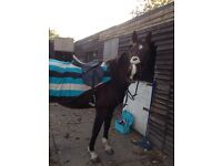 16hh tb mare for loan