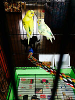 Young Parakeets