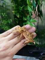 Crested gecko