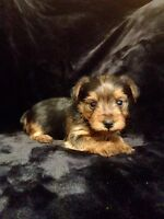 Morkie Puppies For Sale ~ 1/4 Maltese 3/4 Yorkie