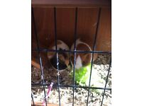 2 sweet female Guinea pigs with hutch