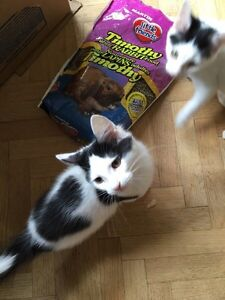 CHATONS A VENDRE 40$ URGENCEEEEE West Island Greater Montréal image 9