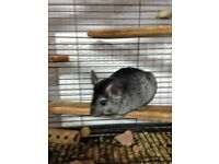 2X CHINCHILLAS AND LARGE CAGE £150
