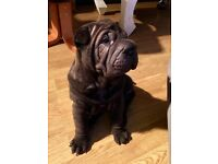 Shar-pei pups puppy's puppies Sharpei for sale