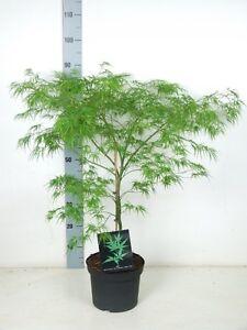 Japanischer Ahorn 70/80cm fächerahorn Acer palmatum dissectum.